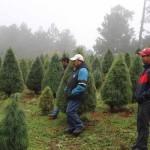 pinos-navideños-navidad-arboles-600x400